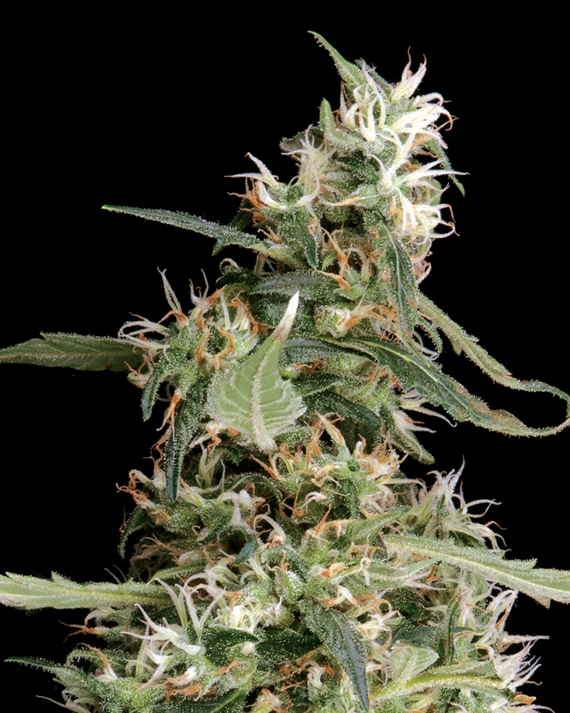 Arjan's Ultra Haze #1 Cannabis Seeds by Green House Seeds ...