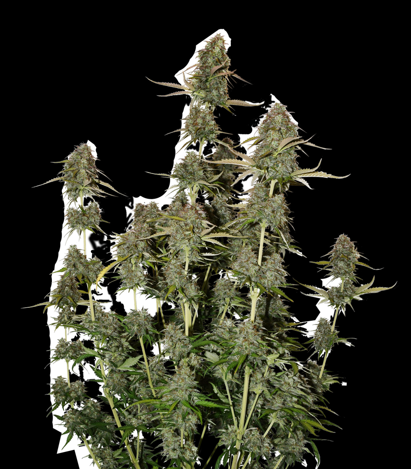 BCN Power Plant Auto Cannabis Seeds by SeedStockers Seeds ...