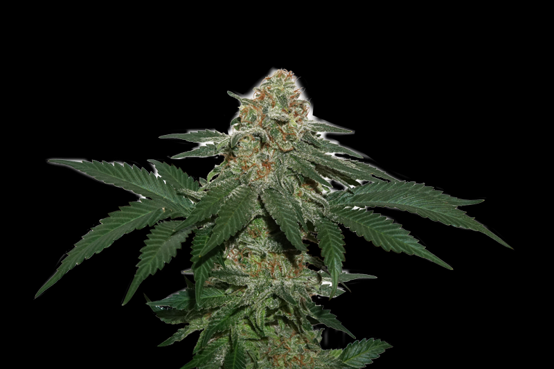 Grandaddy Confidential Cannabis Seeds by SeedStockers ...