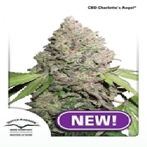 CBD Charlotte's Angel (Dutch Passion Seeds) Cannabis Seeds