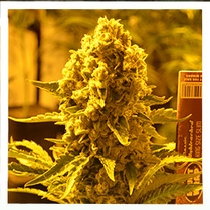 Critical 707 Feminised (Emerald Triangle Seeds) Cannabis Seeds