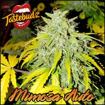 Mimosa Auto Feminised (Tastebudz Seeds) Cannabis Seeds
