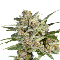 Super Mad Sky Floater (Super Sativa Seeds Club) Cannabis Seeds