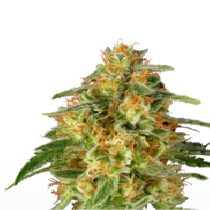TnT Trichome (Super Sativa Seeds Club) Cannabis Seeds