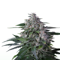 Karel's Haze (Super Sativa Seeds Club) Cannabis Seeds
