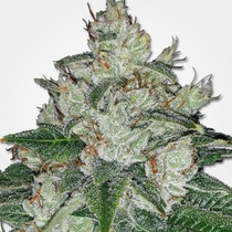 Auto Blueberry x Auto Sweet Tooth Feminised (Discreet Seeds Bulk) Cannabis Seeds