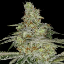 Tangie Ghost Train (Little Chief Collabs Seeds) Cannabis Seeds