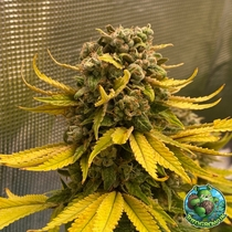 Critical Banana Smoothie Auto Feminised (Tastebudz Seeds) Cannabis Seeds