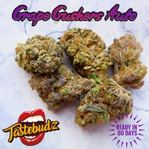 Grape Gushers Auto Feminised (Tastebudz Seeds) Cannabis Seeds