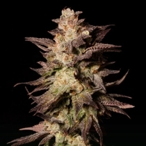 Royal Limez (Emerald Mountain Legacy Seeds) Cannabis Seeds