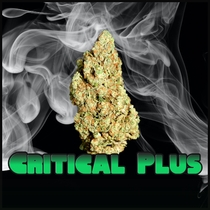 Critical Plus Feminised (Discreet Seeds) Cannabis Seeds