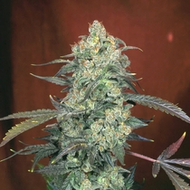 AK47 Feminised (Serious Seeds) Cannabis Seeds